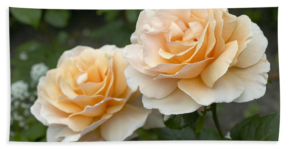 Vp Hand Towel featuring the photograph Rose Rosa Sp Just Joey Variety Flowers by VisionsPictures
