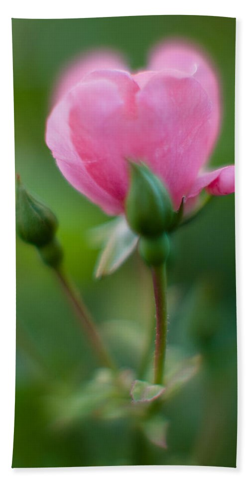 Rose Bath Sheet featuring the photograph Rose With Pink Glow by Greg Nyquist
