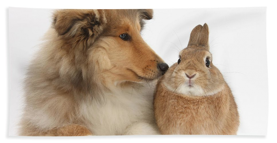 Nature Hand Towel featuring the photograph Rough Collie Pup With Rabbit by Mark Taylor