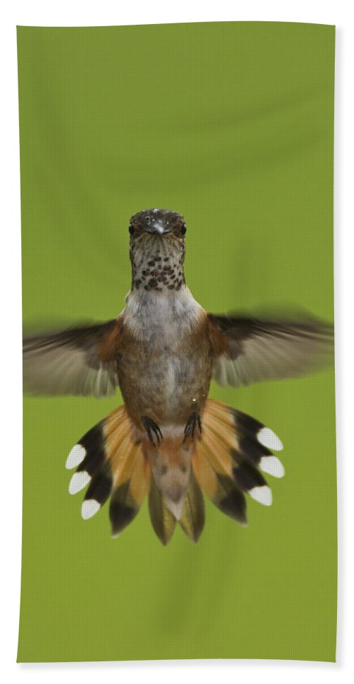 Mp Hand Towel featuring the photograph Rufous Hummingbird Selasphorus Rufus by Matthias Breiter
