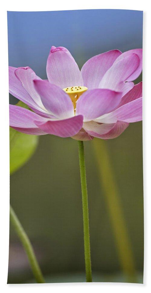 Mp Hand Towel featuring the photograph Sacred Lotus Nelumbo Nucifera Flower by Tim Fitzharris