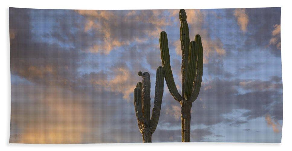 Mp Hand Towel featuring the photograph Saguaro Carnegiea Gigantea Cacti, Cabo by Tim Fitzharris