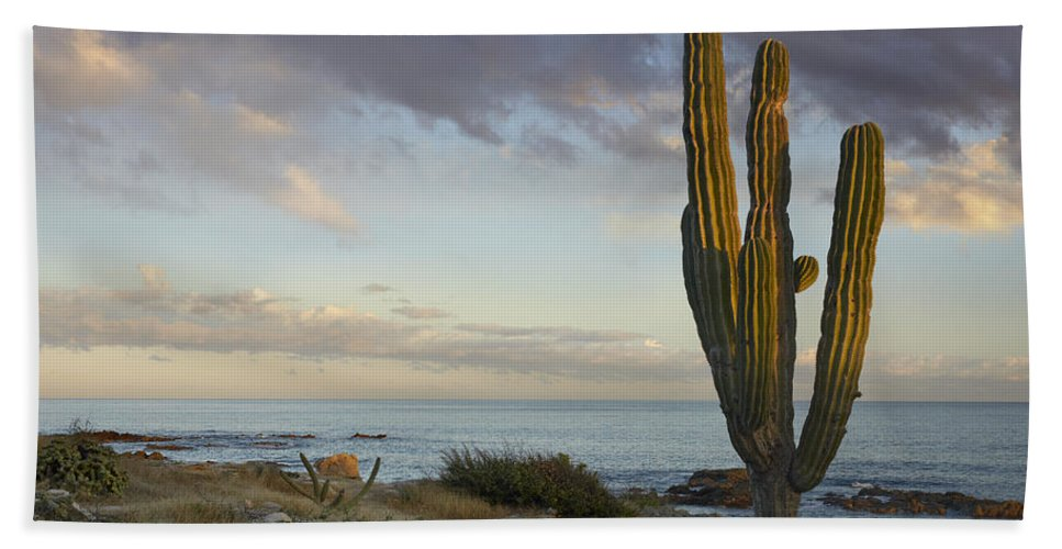 Mp Hand Towel featuring the photograph Saguaro Carnegiea Gigantea Cactus by Tim Fitzharris