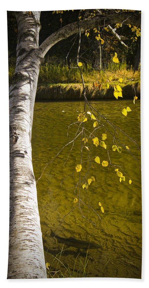 Art Bath Sheet featuring the photograph Salmon During The Fall Migration In The Little Manistee River In Michigan No. 0887 by Randall Nyhof