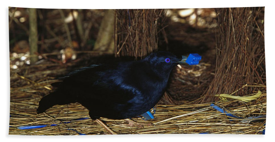 Mp Hand Towel featuring the photograph Satin Bowerbird Ptilonorhynchus Violaceus by Cyril Ruoso