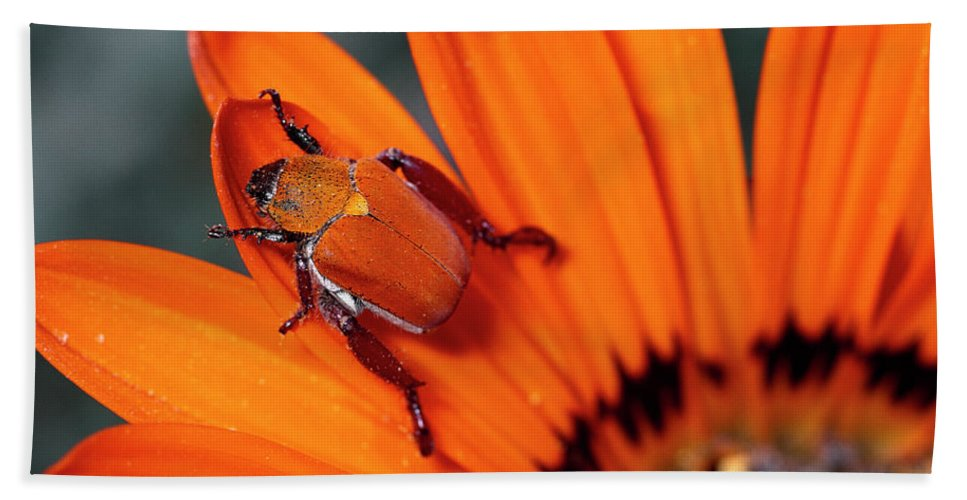 Mp Hand Towel featuring the photograph Scarab Beetle On A Guzmania Flower by Michael & Patricia Fogden