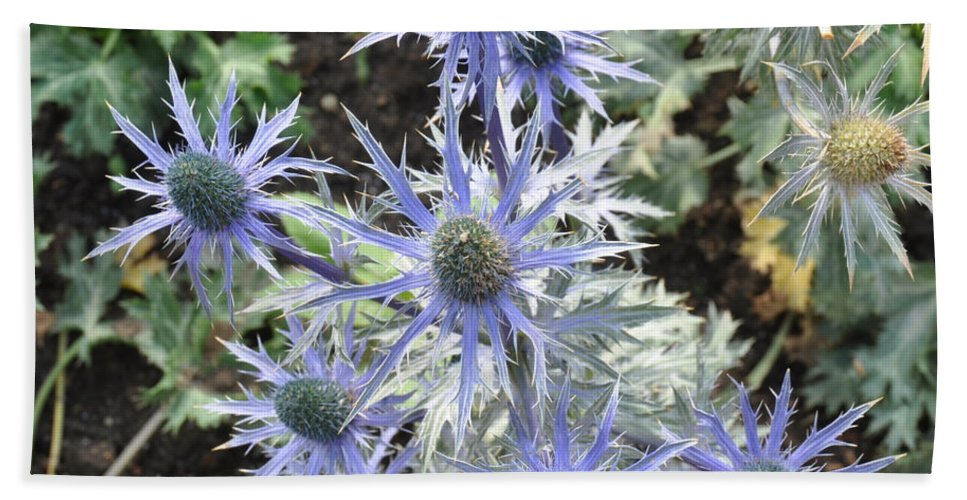 Flower Hand Towel featuring the photograph Sea Holly by Rich Bodane