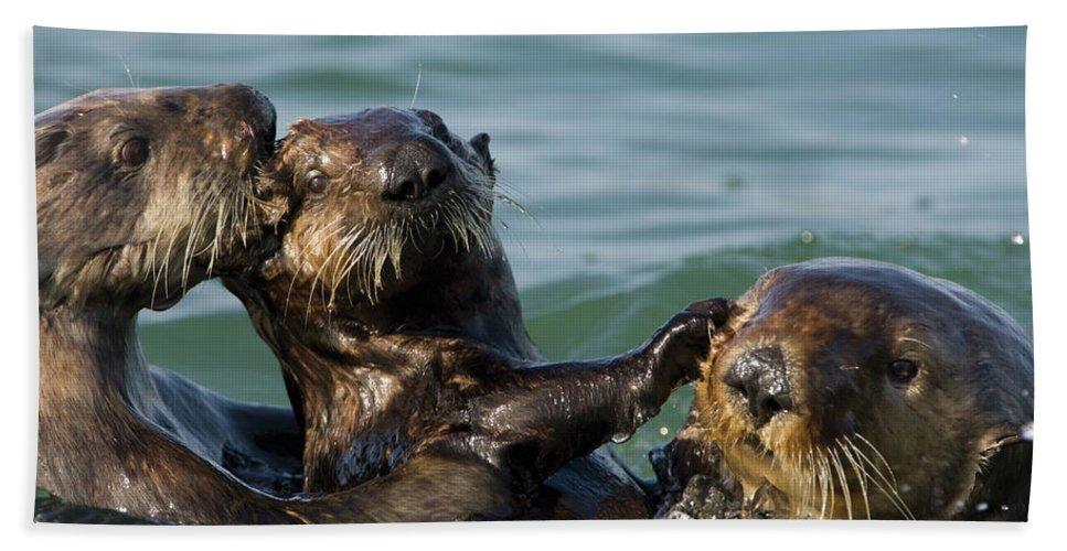 Mp Hand Towel featuring the photograph Sea Otter Enhydra Lutris Bachelor Male by Suzi Eszterhas