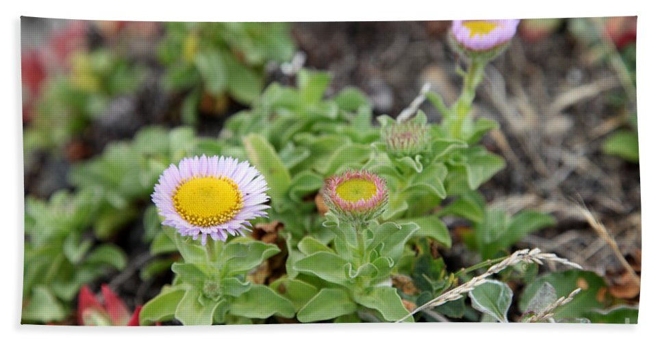 Angiosperms Hand Towel featuring the photograph Seaside Fleabane Flowers by Ted Kinsman