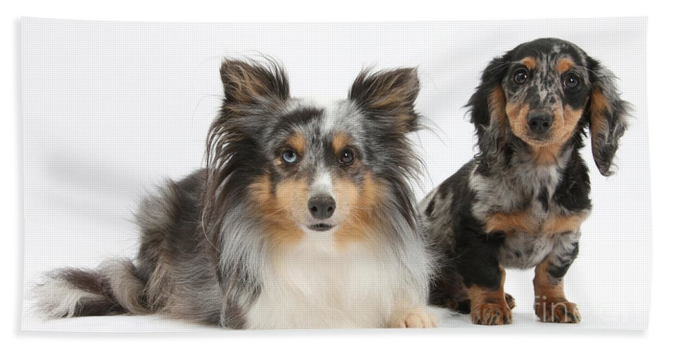 Dog Hand Towel featuring the photograph Shetland Sheepdog And Dachshund by Mark Taylor