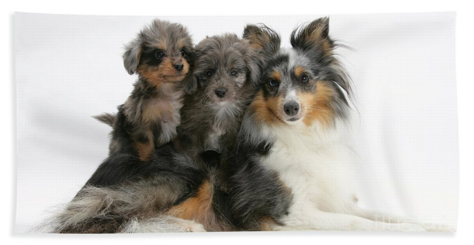 Animal Hand Towel featuring the photograph Shetland Sheepdog With Puppies by Mark Taylor