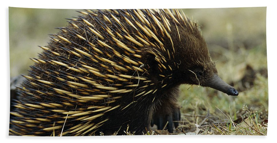 Mp Hand Towel featuring the photograph Short-beaked Echidna Tachyglossus by Cyril Ruoso
