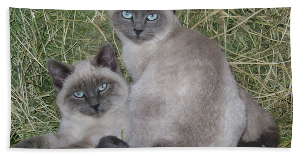 Cat Hand Towel featuring the photograph Siamese Haystack by Charles and Melisa Morrison