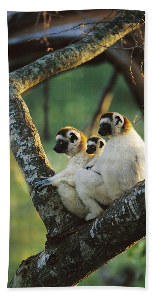 Mp Hand Towel featuring the photograph Sifaka Propithecus Sp Family Resting by Cyril Ruoso