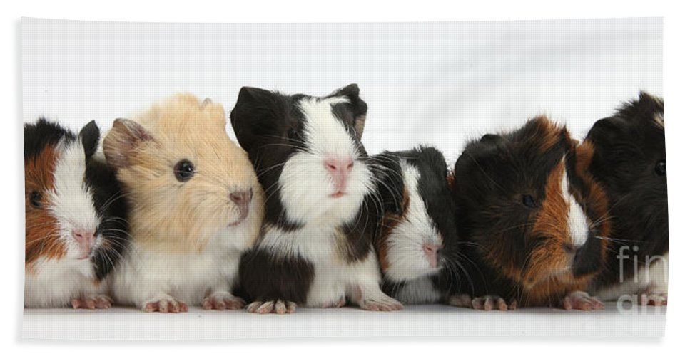 Nature Hand Towel featuring the photograph Six Young Guinea Pigs In A Row by Mark Taylor