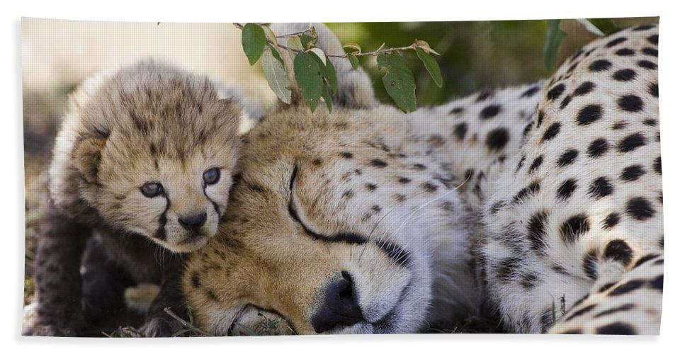 Mp Hand Towel featuring the photograph Sleeping Cheetah And Cub Kenya by Suzi Eszterhas