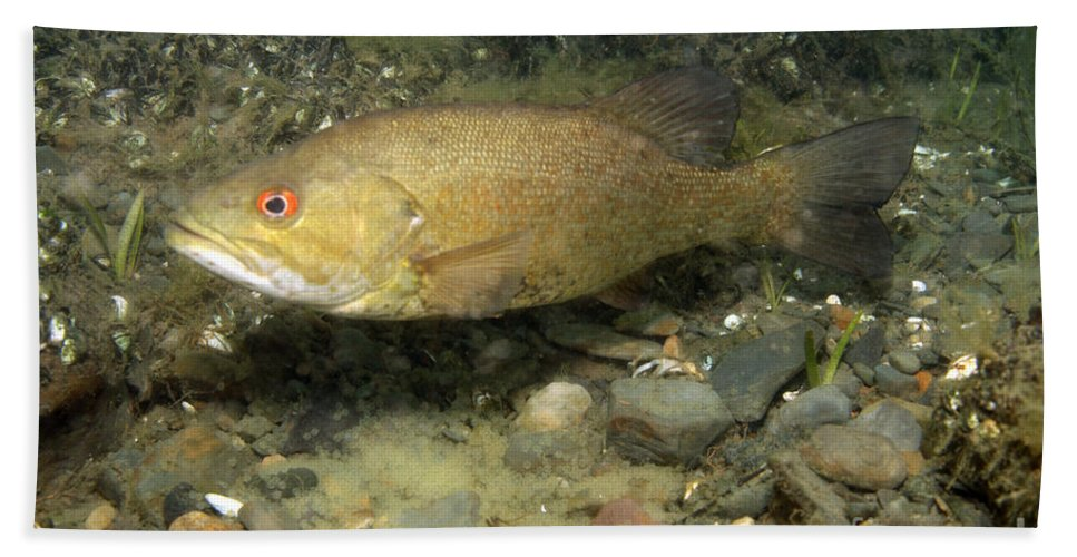 Smallmouth Bass Hand Towel featuring the photograph Smallmouth Bass Protecting Eggs by Ted Kinsman