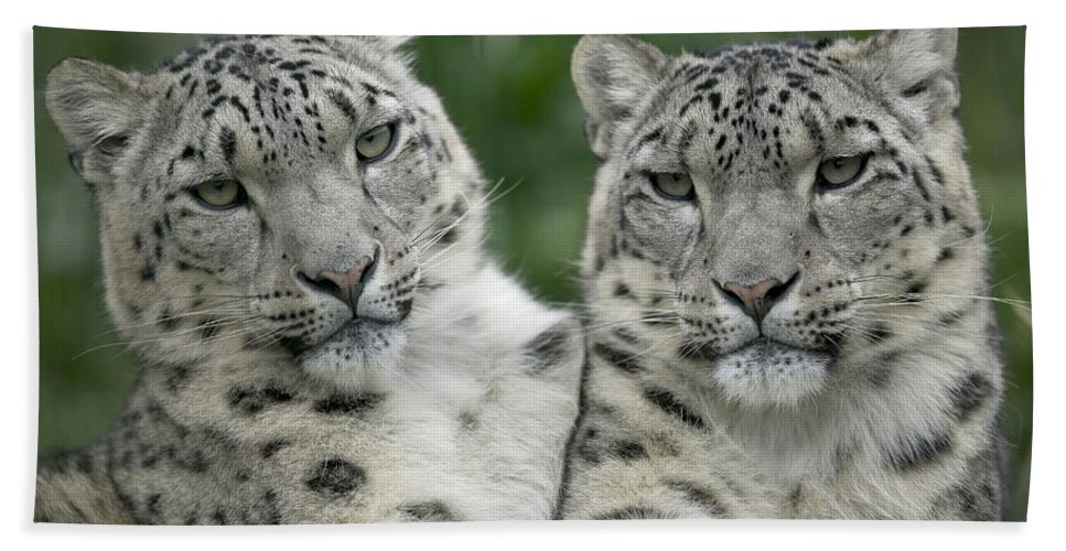 Mp Hand Towel featuring the photograph Snow Leopard Pair Sitting by Cyril Ruoso