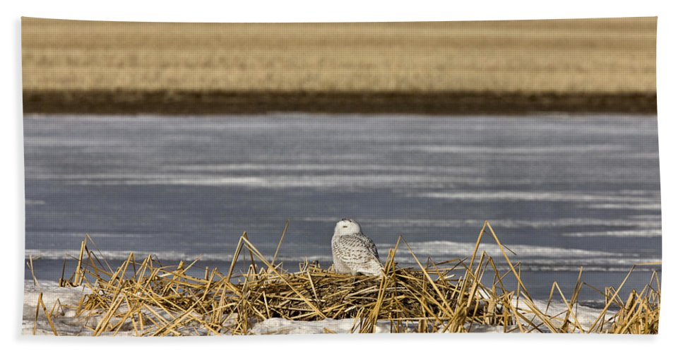 Owl Bath Sheet featuring the photograph Snowy Owl Perched Frozenpond by Mark Duffy