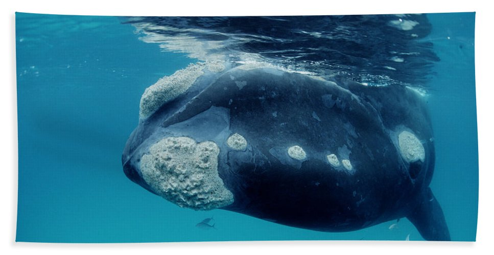 Mp Hand Towel featuring the photograph Southern Right Whale Australia by Mike Parry