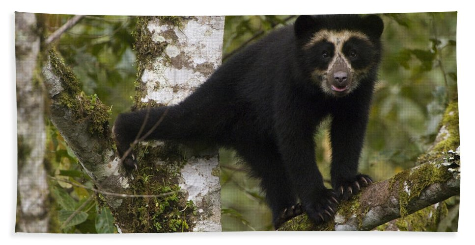 Mp Hand Towel featuring the photograph Spectacled Bear Tremarctos Ornatus Cub by Pete Oxford