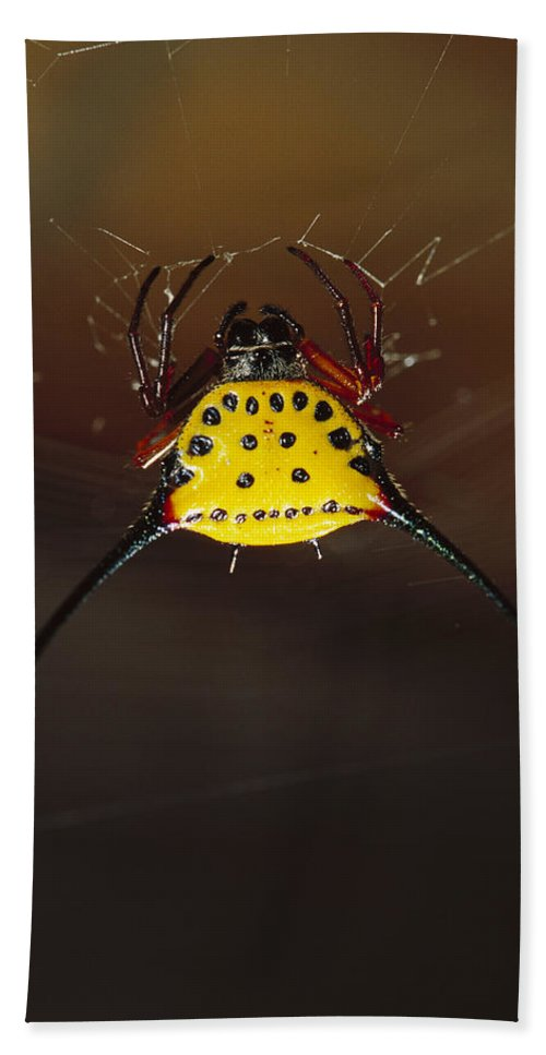 Mp Hand Towel featuring the photograph Spiked Spider Gasteracantha Sp In Web by Cyril Ruoso
