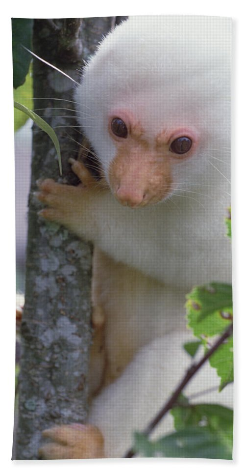 Mp Hand Towel featuring the photograph Spotted Cuscus Phalanger Maculatus by Mark Moffett
