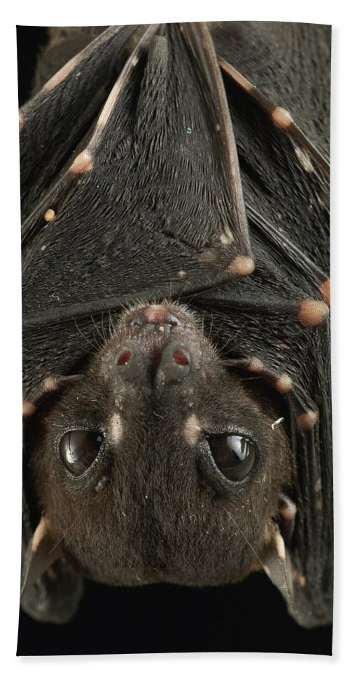 Mp Hand Towel featuring the photograph Spotted-winged Fruit Bat Balionycteris by Ch'ien Lee