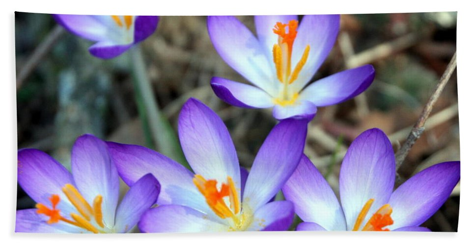 Spring Bath Sheet featuring the photograph Spring Crocuses by Laurel Talabere