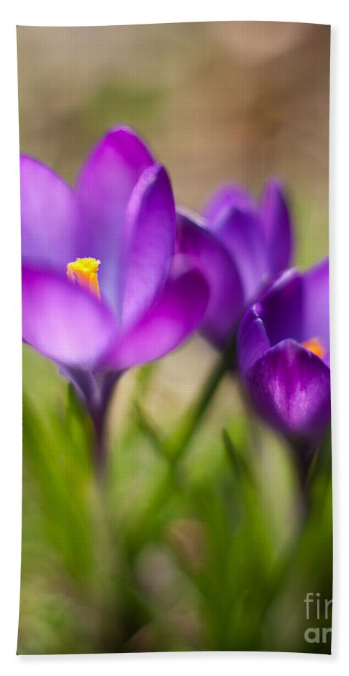 Crocus Bath Sheet featuring the photograph Spring Trio by Mike Reid