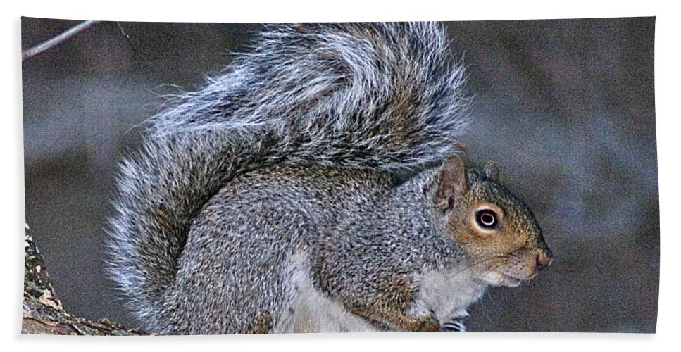 Squirrel Bath Sheet featuring the photograph Squirrel II by Joe Faherty
