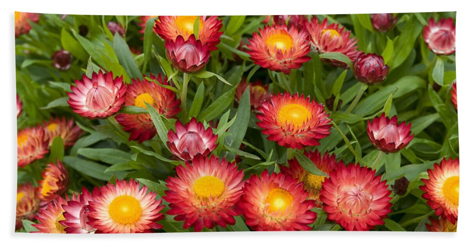 Vp Hand Towel featuring the photograph Strawflower Helichrysum Sp Red Variety by VisionsPictures