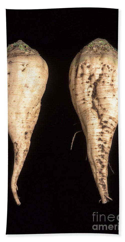 Close Up Hand Towel featuring the photograph Sugar Beet Breeding by Science Source
