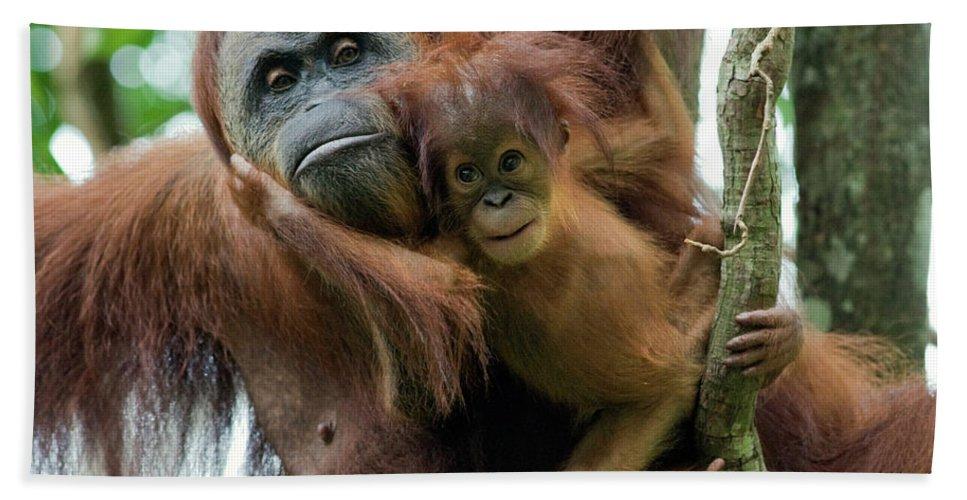 Mp Hand Towel featuring the photograph Sumatran Orangutan Pongo Abelii Mother by Suzi Eszterhas