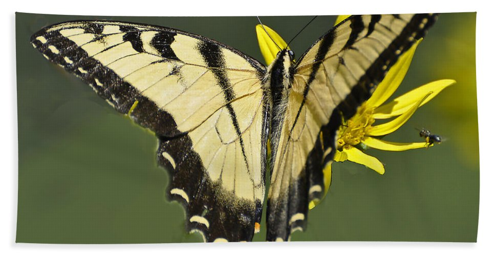 Butterfly Bath Sheet featuring the photograph Swallowtail And Friend by Rodney Campbell
