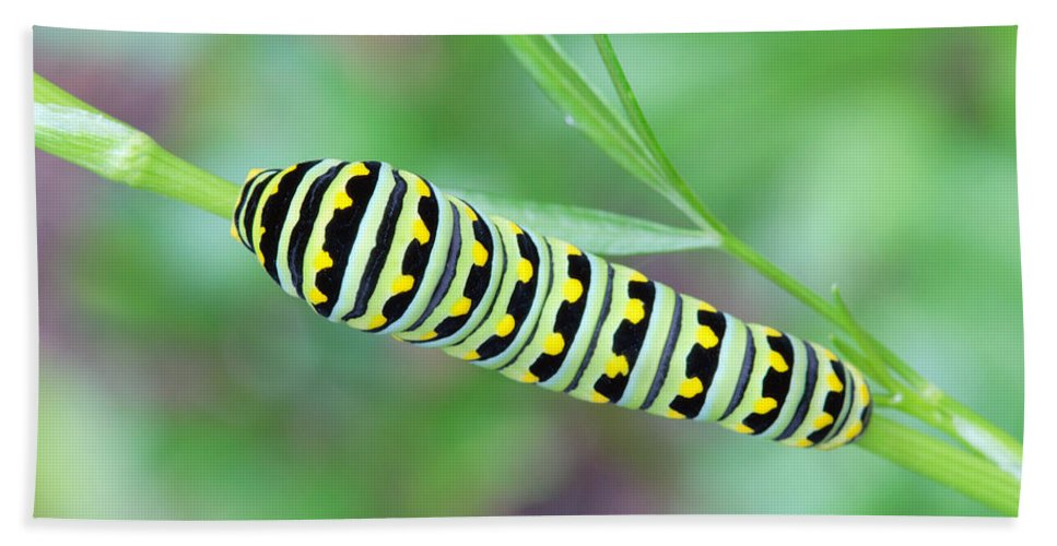 Papilio Polyxenes Bath Sheet featuring the photograph Swallowtail Caterpillar On Parsley by Daniel Reed