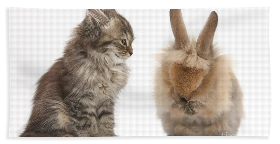 Nature Hand Towel featuring the photograph Tabby Kitten With Young Rabbit, Grooming by Mark Taylor