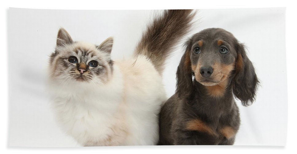 Animal Hand Towel featuring the photograph Tabby-point Birman And Dachshund Pup by Mark Taylor