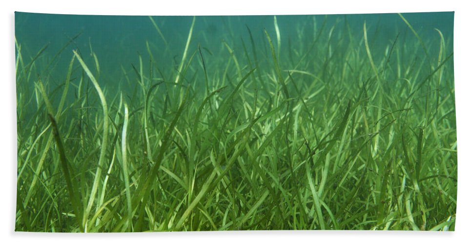 Freshwater Hand Towel featuring the photograph Tapegrass In Freshwater Lake by Ted Kinsman