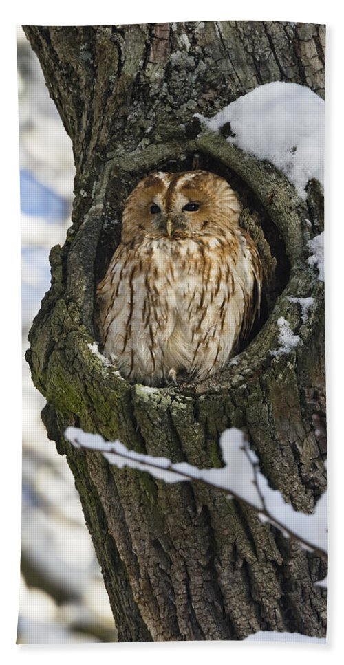 Mp Hand Towel featuring the photograph Tawny Owl Strix Aluco In Nest Hole by Konrad Wothe