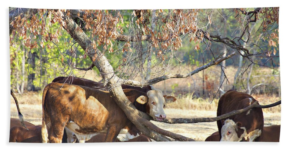 Cattle Hand Towel featuring the photograph The Fork In The Tree by Douglas Barnard