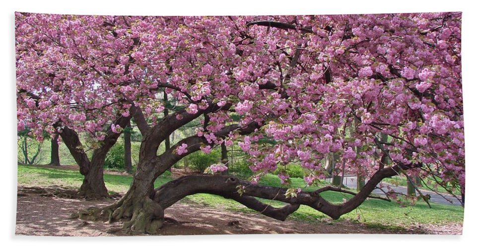 Cherry Blossoms Bath Sheet featuring the photograph The Most Beautiful Cherry Tree by Margaret Bobb