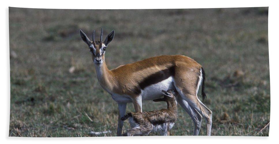 Sandra Bronstein Hand Towel featuring the photograph Thomson Gazelle And Newborn Calf by Sandra Bronstein
