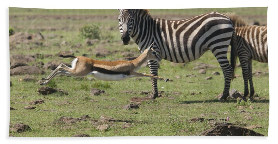 Africa Bath Sheet featuring the photograph Thomson's Gazelle Running At Full Speed by Howard Kennedy