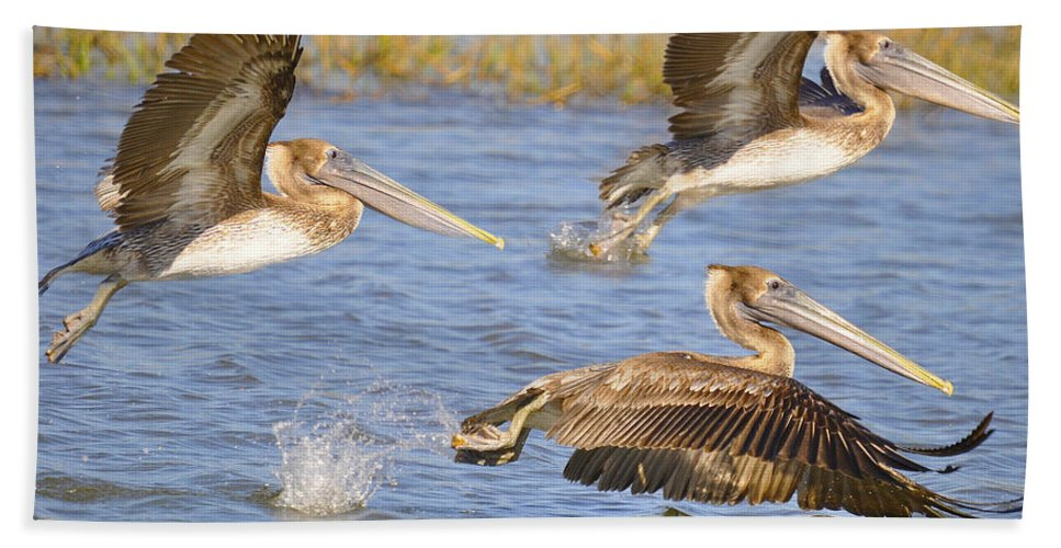 Pelicans Bath Sheet featuring the photograph Three Pelicans Taking Off by TJ Baccari