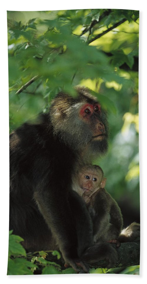 Mp Hand Towel featuring the photograph Tibetan Macaque Nursing Baby by Cyril Ruoso