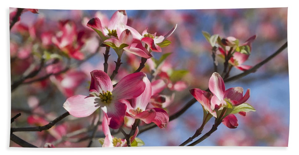 Pink Bath Sheet featuring the photograph Tickled Pink Dogwood by Kathy Clark