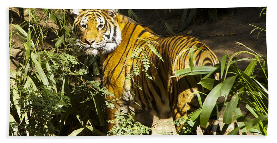 Tiger Bath Sheet featuring the photograph Tiger In The Rough by Jon Berghoff