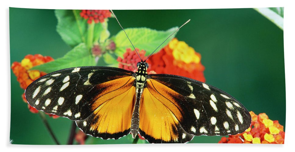 Mp Hand Towel featuring the photograph Tiger Longwing Heliconius Hecale by Michael & Patricia Fogden
