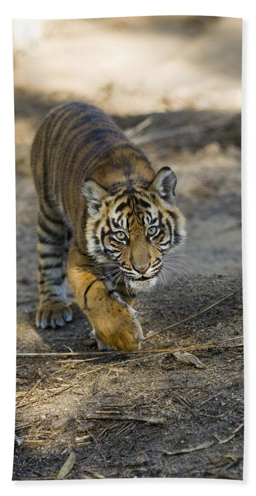 Mp Hand Towel featuring the photograph Tiger Panthera Tigris Cub, Native by Zssd